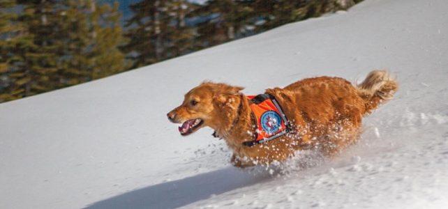 Introducing The Furriest Member of the Canadian Ski Patrol!